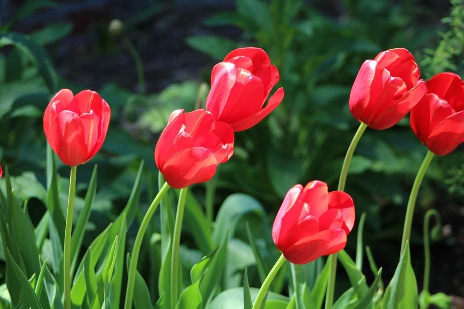 Tulips at Brookgreen Gardens, SC