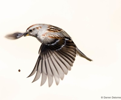 The dropped seed.Winter Finch.