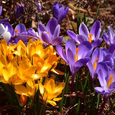 Multi coloured crocus