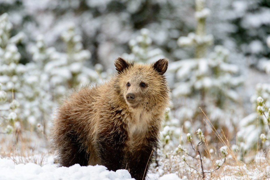 Grizzly Cub in fall snow below Sylvan Pass in Yellowstone