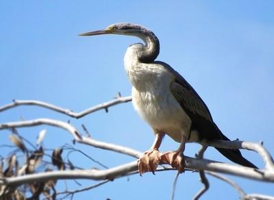 Majestic Waterbird - Amazing Webbed Feet