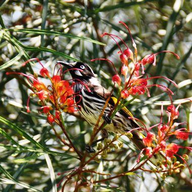 Honey Eater - New South Wales, Australia