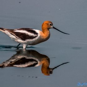American Avocet looking for food along the marshes of SW Manitoba