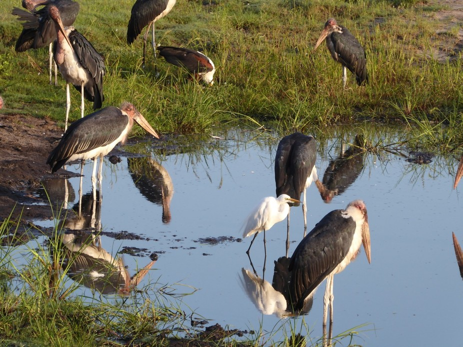 African Fish Eagle, Marabou Stork & Little Egret in a puddle of Water