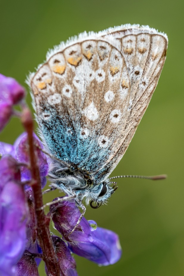 Meadow Blue Butterfly by johnpreston_5231 - Beautiful Butterflies Photo Contest