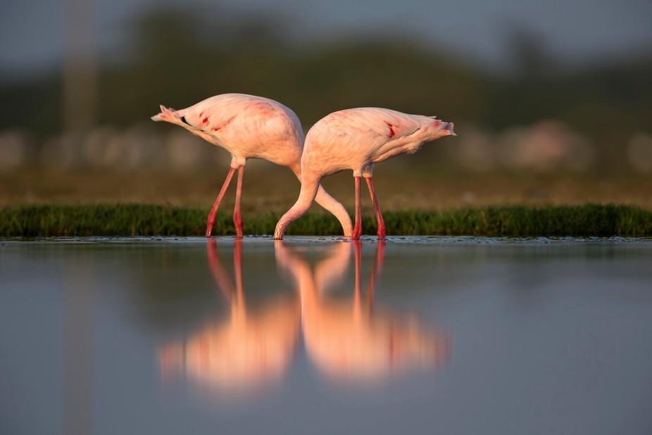 Foraging headless - Lesser flamingo