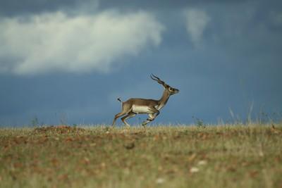 Blackbuck prancing across the grassland