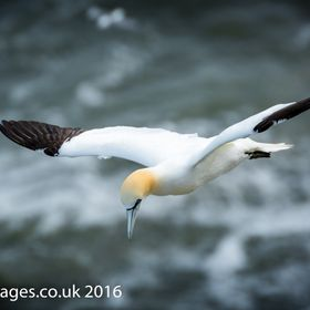 One of the UK's largest sea birds with a wing span of up to two meters, this lonely Gannet soars above the waves at the Bempton Cliffs natur...
