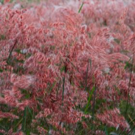 Natal Red Top Grass blowing in the wind, creating my pink blur