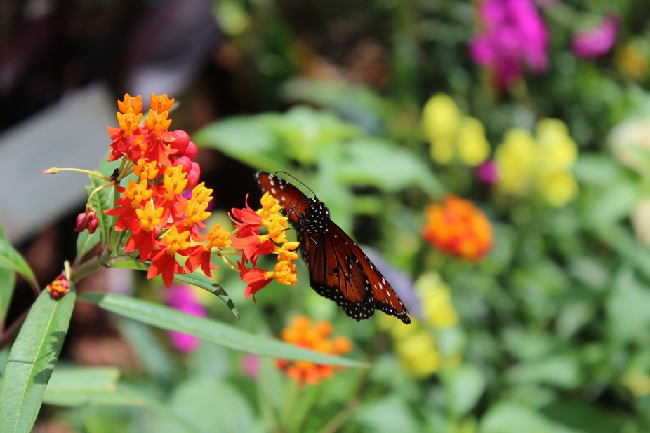 This little butterfly posed for me in the EPCOT Flower and Garden Butterfly House!