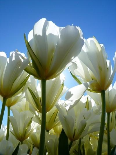 P1080330 Sunlit White Tulips - Skagit Valley