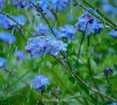 Rain Drops and Forget Me Nots