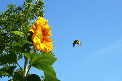 Swallowtail: Destination, Sunflower