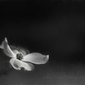 Pink flowering dogwood blossom photograph, in charcoal.