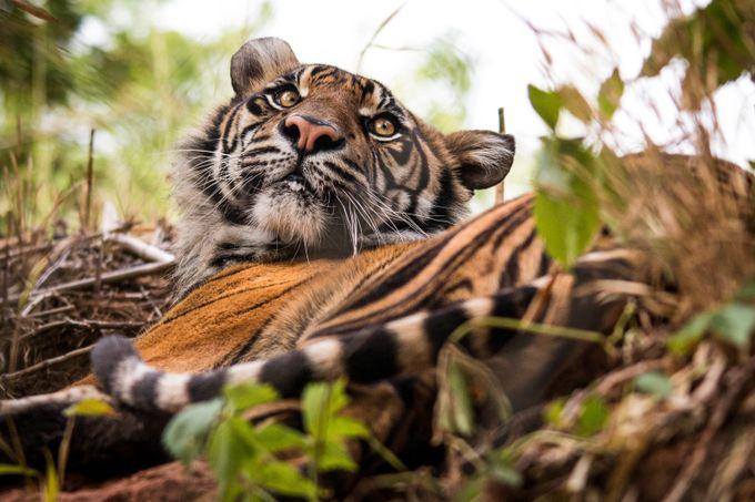 Sumatran Tiger by JSJPhotography - Wildlife Photo Contest 2017