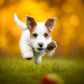 Little JRT puppy catching a ball