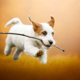 A wonderful JRT puppy playing with a stick!!