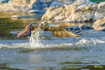 Osprey Leaping Into Air from Water
