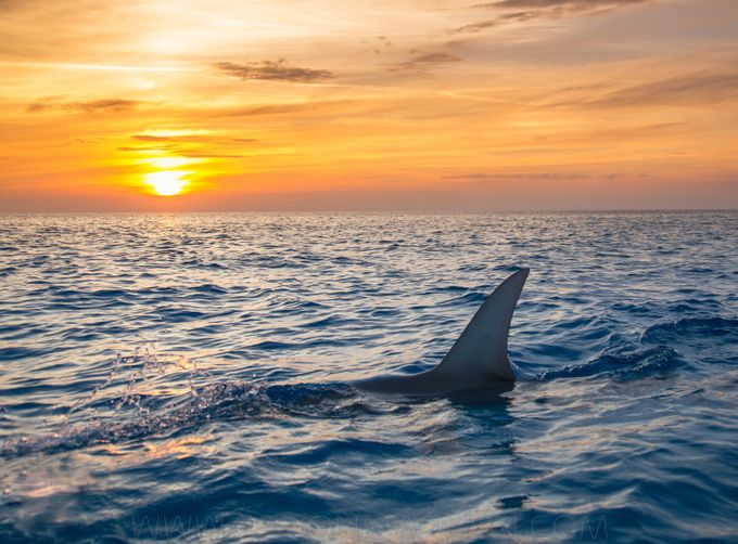Great Hammerhead - Bahamas by devonmassyn - Animals And Water Photo Contest