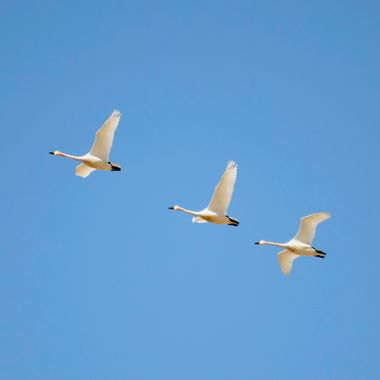 April 3, 2016, north of Drumheller, Alberta, these Tundra swans were part of a very large group of swans