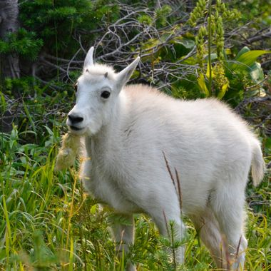 I saw this Mountain Goat kid in a little meadow near the Highline trail at Logan Pass, at the top of the Going To The Sun Road in Glacier National Park