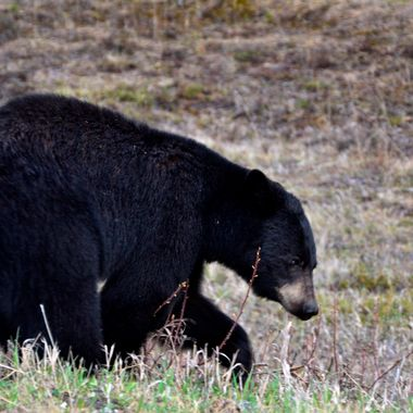 I was travelling through Southwestern Alberta, toward Jasper National Park, and I saw this black bear in the rain, in the Nordegg area, just east of Jasper