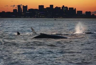 Boston Whales