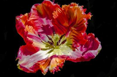 Ruffled Tulip Splayed