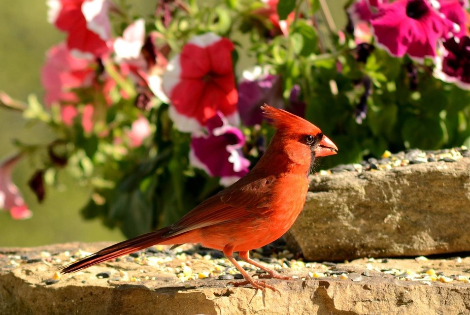 Finally got some catch light in the cardinal's  eye.  Sunrise and patience helps