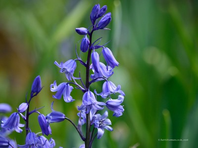 Spanish blue bells