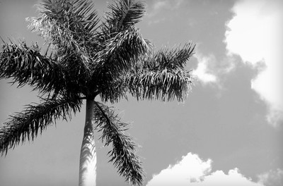 Palm Tree, Sky - Black and White