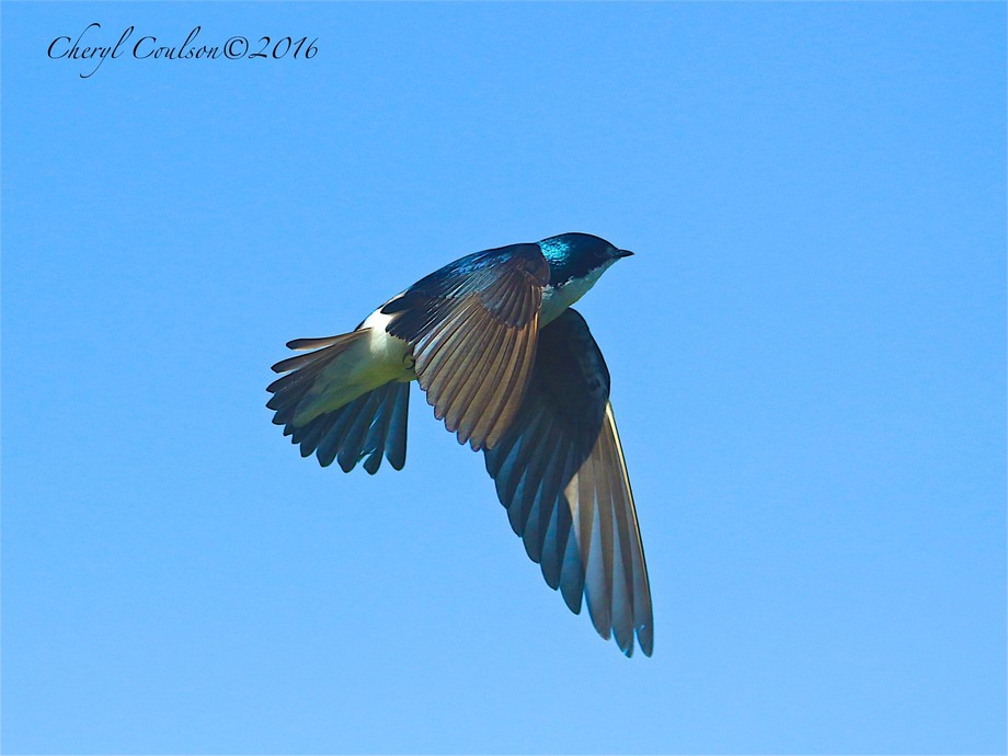 Flapping Swallow