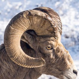 Bighorn Sheep, photographed on the highway just outside of Radium Hot Springs, BC, Canada