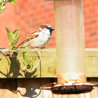 Male Sparrow on fence near bird feeder.