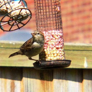 Female Sparrow on bird feeder.