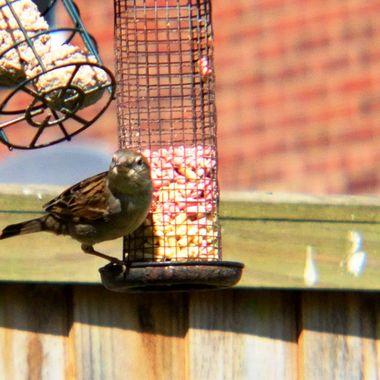 Female Sparrow on a bird feeder,
