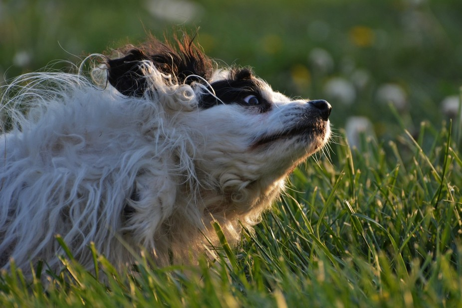 My goofy dog Loopa rolling around in the grass. :)