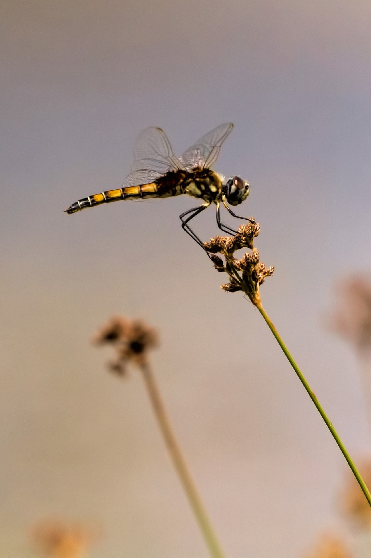 Closeup of a yellow dragonfly perched on a flower at Lake Rose, Aberdeen, FL, USA.
