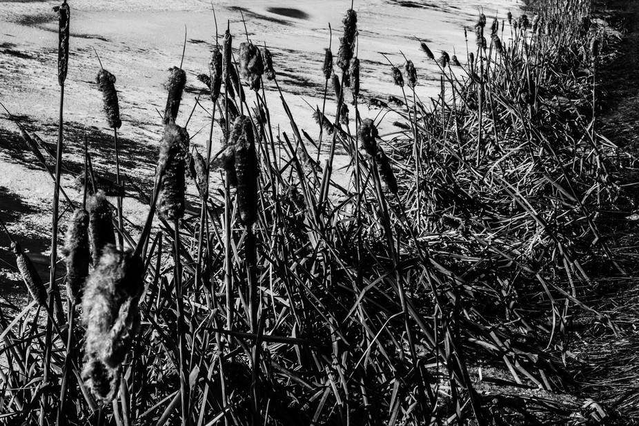 bw cattails