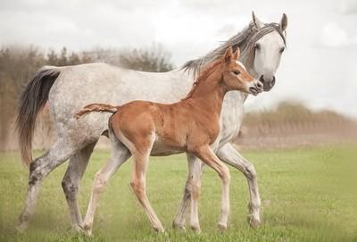 Arabian mare & colt