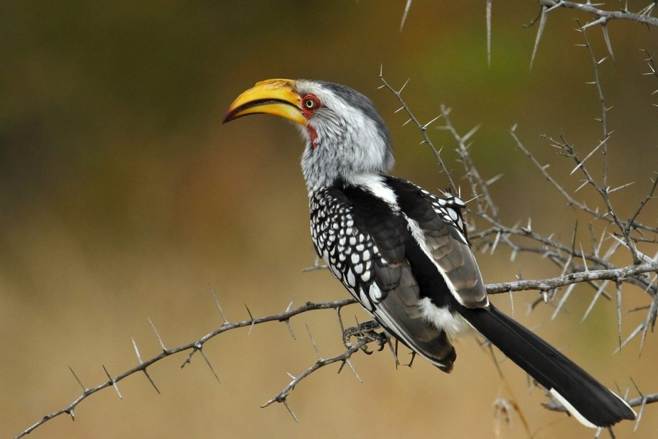 southern yellow billed hornbill gazing into the African Savannah