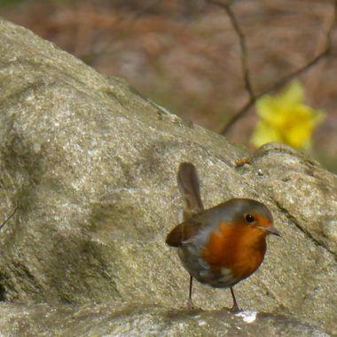 Meet Bobbin the robin
