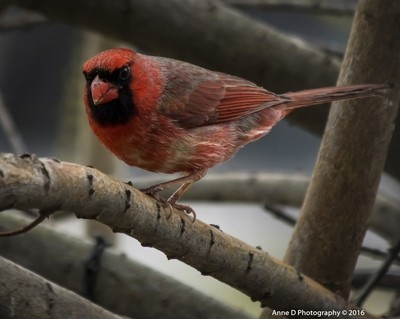 The Red Robin