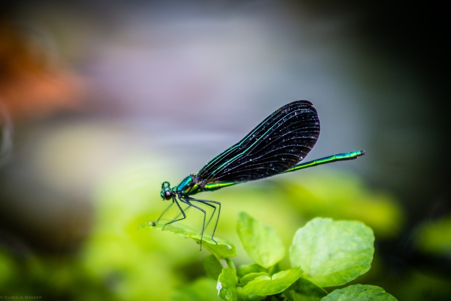 This is on of my favorite shots with a Damselfly.  She seems out of this world with her electric ...