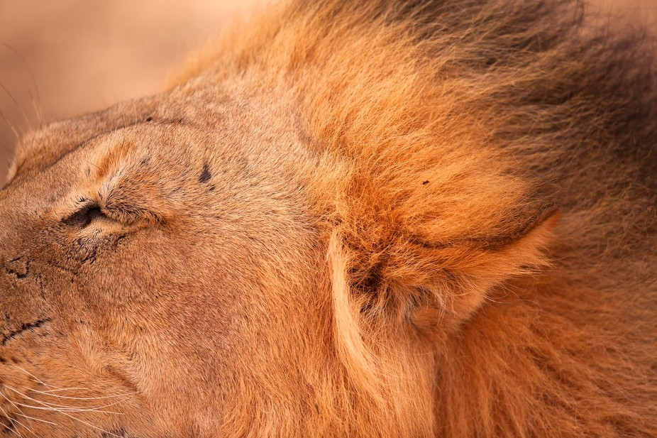 Taken in the Kgalagadi Transfrontier Park in South Africa. Abstract of a male lion's mane