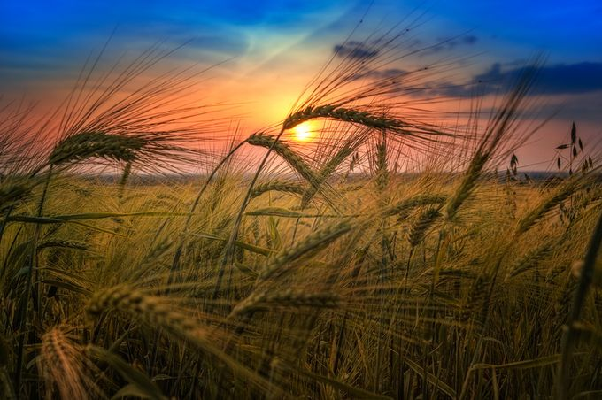 Sunset Over Wheat Field by Dragan_Milovanovic - A Low Vantage Point Photo Contest