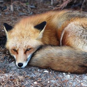 The foxes in a nearby state park are so accustomed to people that they will settle in for a nap