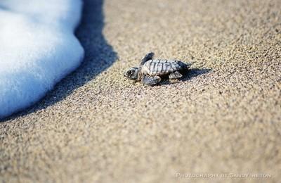 Sea Turtle First Swim