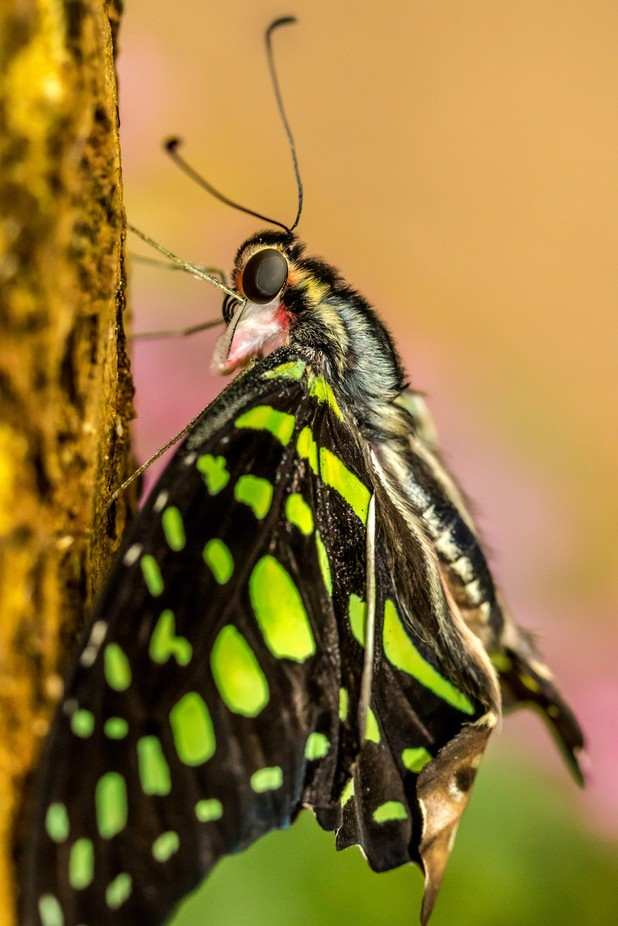 Tailed Jay  by Bannekh - Beautiful Butterflies Photo Contest