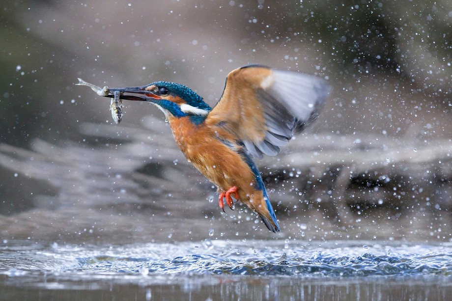 Only a Kingfisher